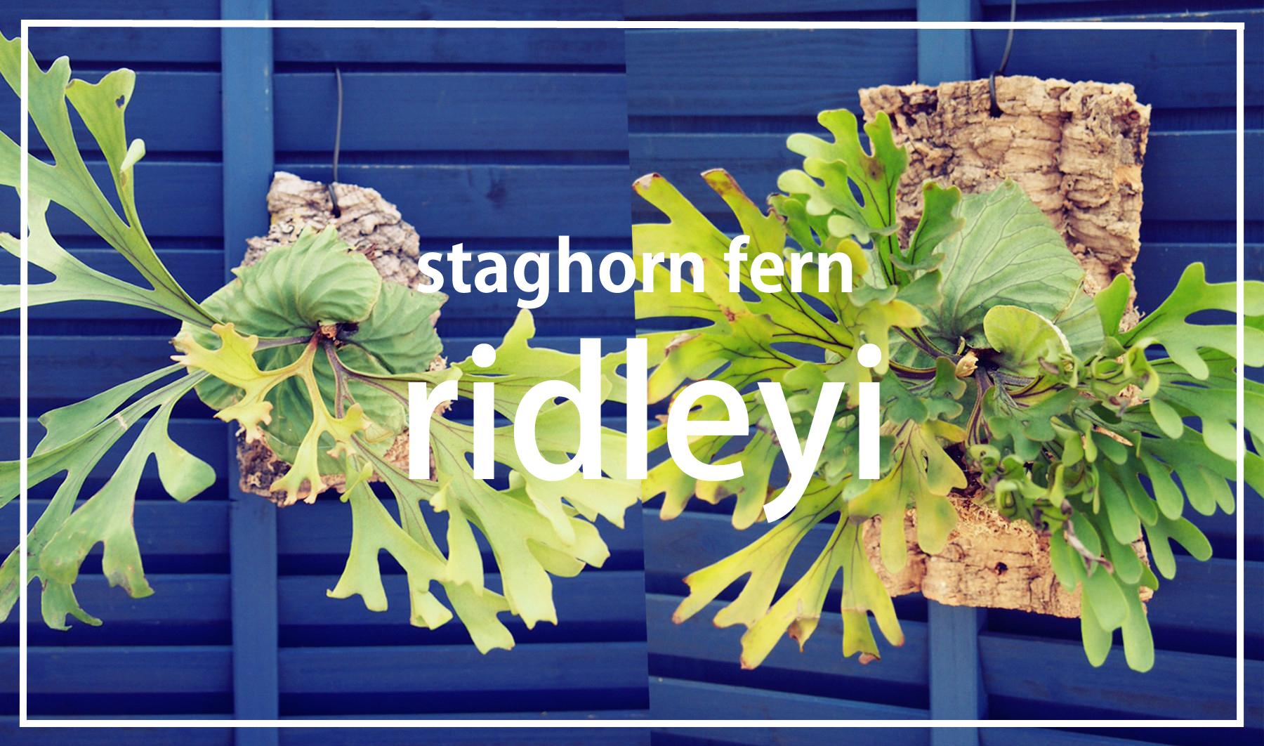 ビカクシダ-リドレイ(platycerium ridleyi)